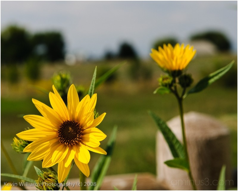 sunflowers in fall