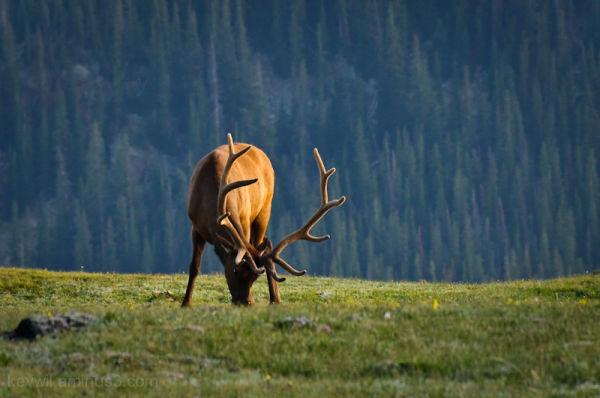 elk above treeline