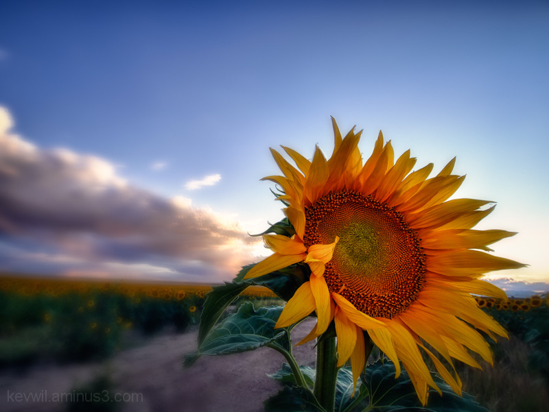 hdr of colorado sunflowers at sunset