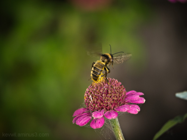 closeup of bumblebee takeoff from flower