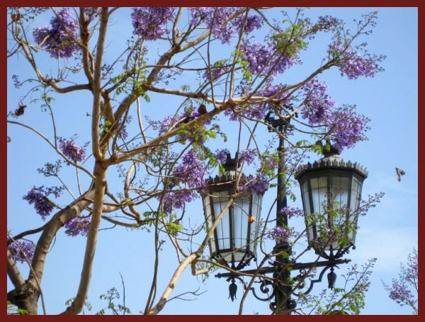 NEW JACARANDÁ FLOWERS IN LISBON