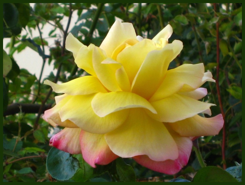 A YELLOW ROSE OF PORTUGAL