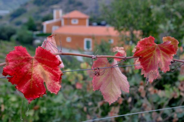 DOURO VINEYARDS--THE LEAVES-1
