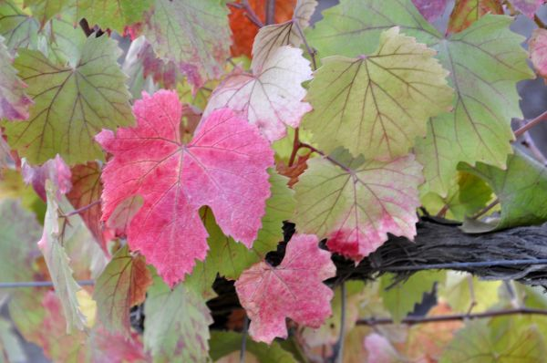 DOURO VINEYARDS- THE LEAVES-2