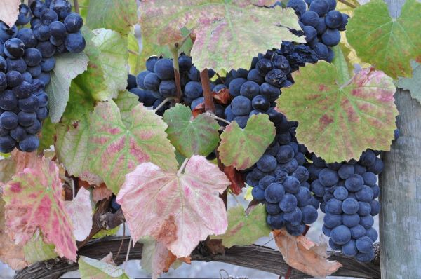 DOURO VINEYARDS- THE GRAPES -3