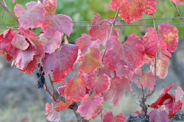 DOURO VINEYARDS- THE LEAVES-4