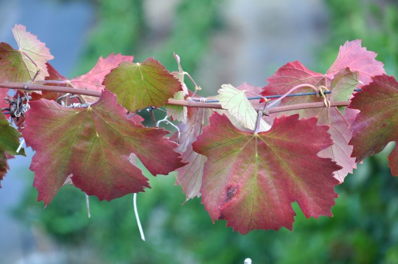 DOURO VINEYARDS- THE LEAVES-5