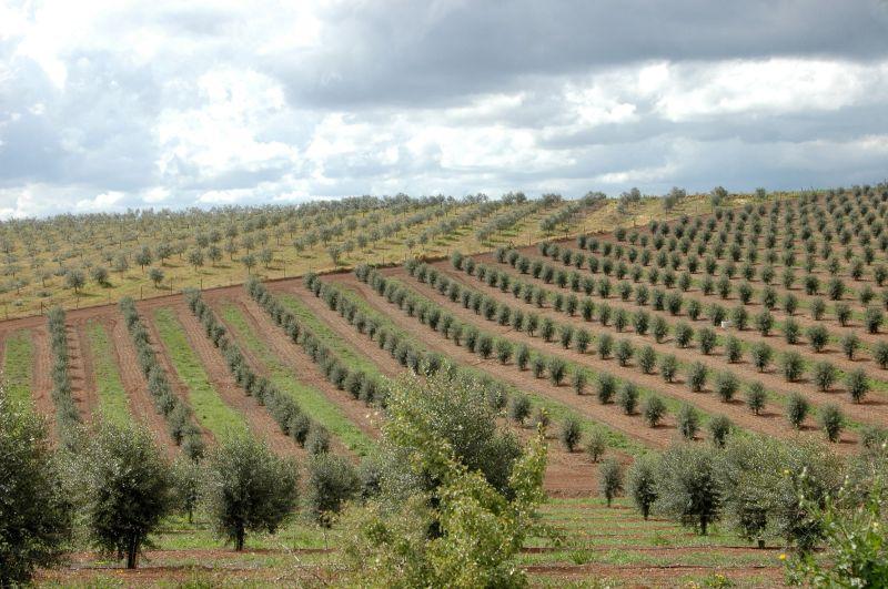 THE OLIVE TREES  (ALENTEJO-PORTUGAL)