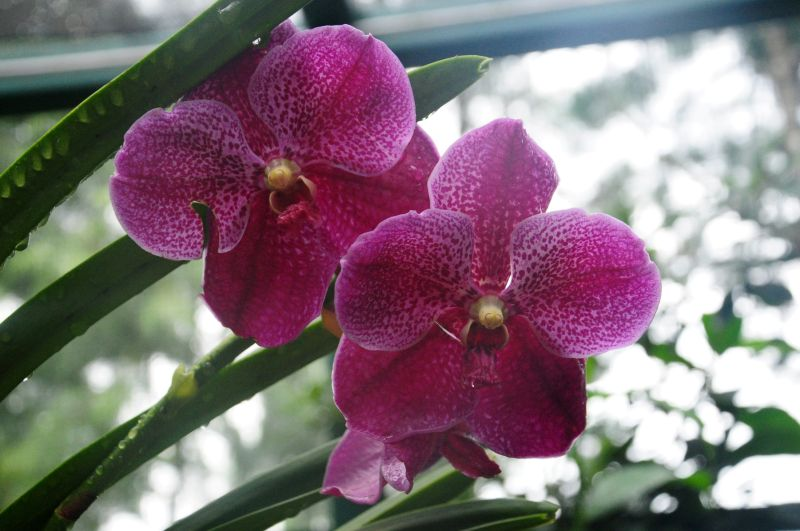 SINGAPORE -IN THE NATIONAL ORCHID GARDEN-1