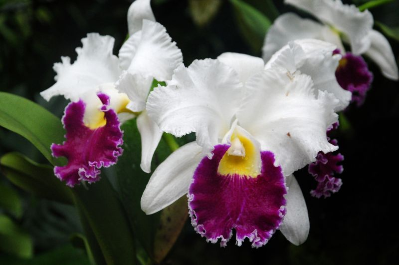 SINGAPORE -IN THE NATIONAL ORCHID GARDEN-3