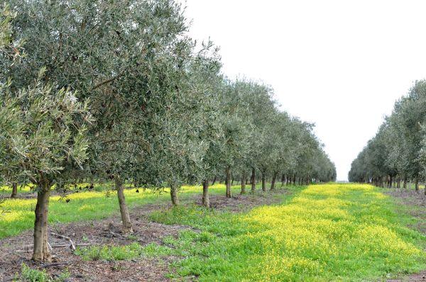 ALENTEJO, PORTUGAL-AN OLIVE TREE CARPET