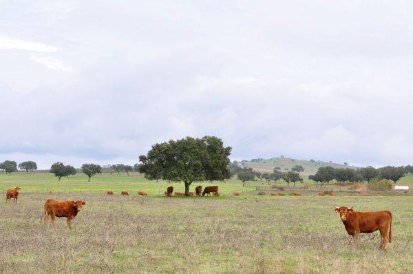 ALENTEJO, PORTUGAL-FRIENDLY COWS