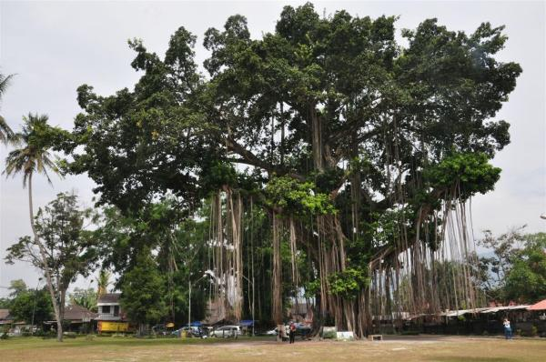 A MONUMENTAL TREE