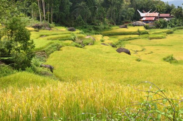 RICE FIELDS-2