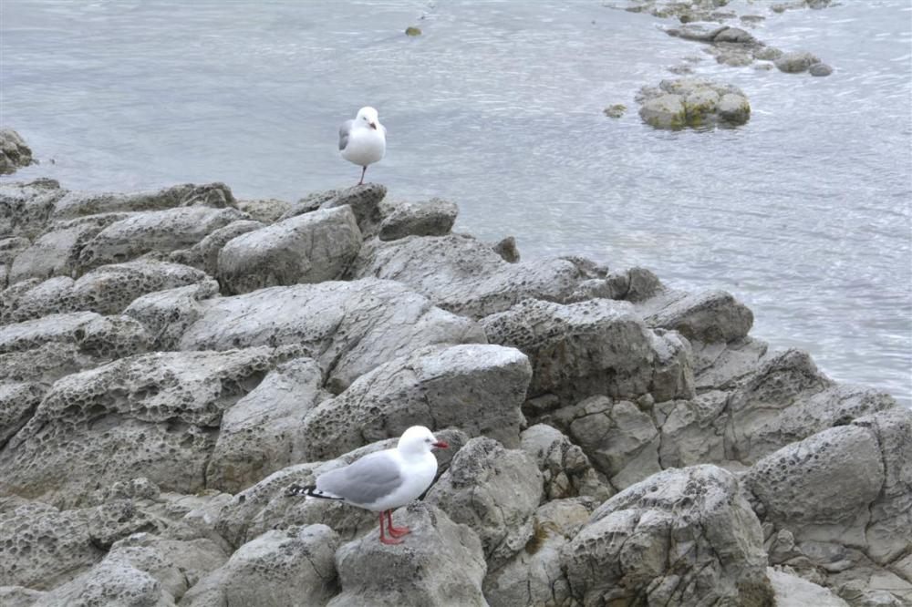 SEAGULLS ANS FUR SEALS IN KAIKOURA-1