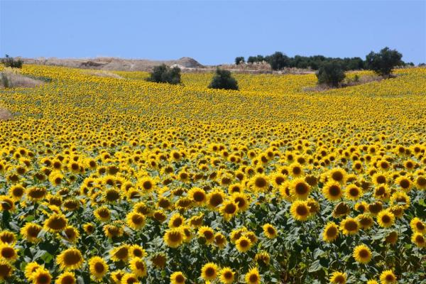 A SUNFLOWER FIELD-3