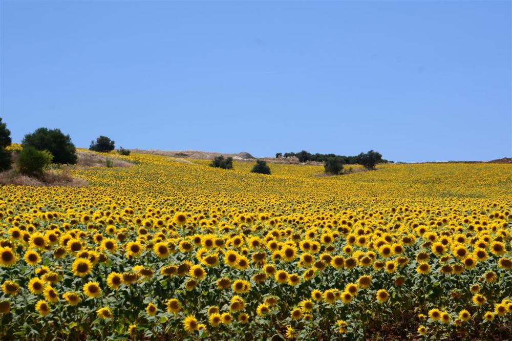 A SUNFLOWER FIELD-6