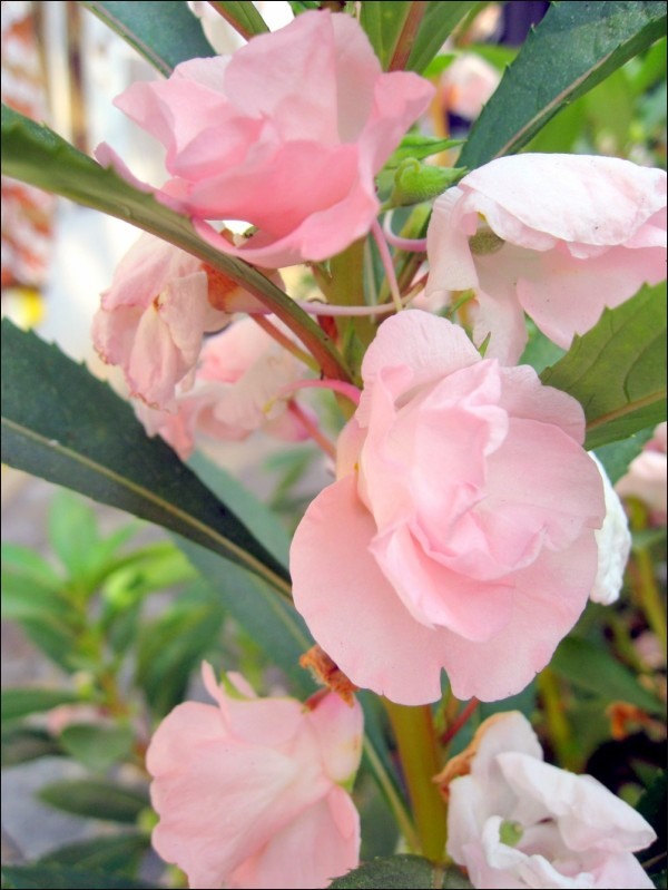 A Misty Delicate Blush That Tugged My Heart..