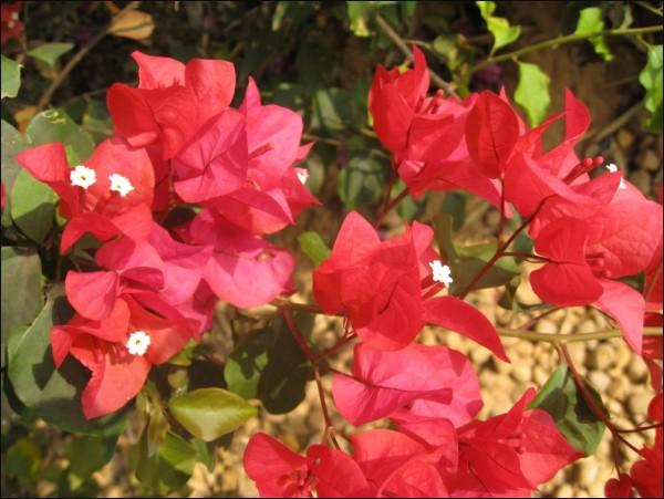 bougainvillea, flowers,love, beauty, joy, God,