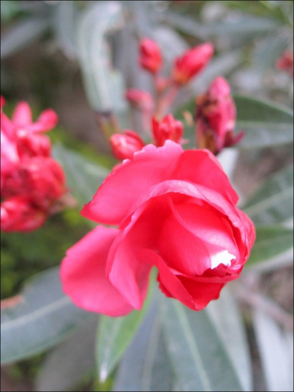 Red, Flower, Gentle, Color, Spark, Shimmer, Ray,