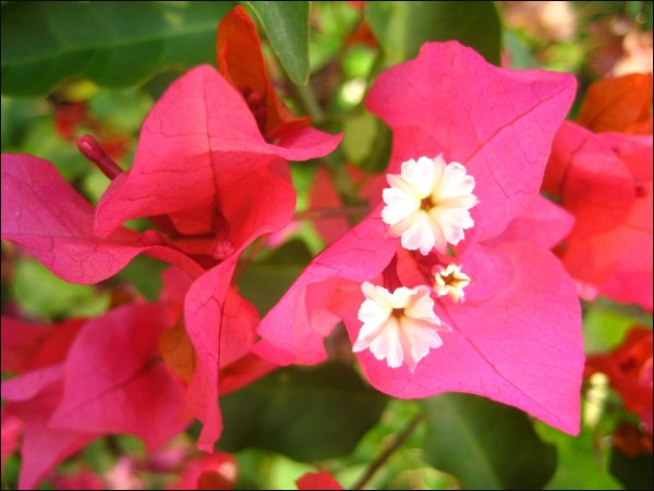 bougainvillea, flowers,love, beauty, joy, God,