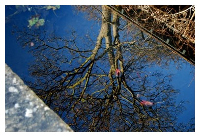 reflection of a tree in a garden pond
