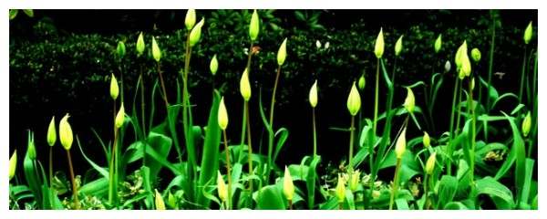 under my window, tulips