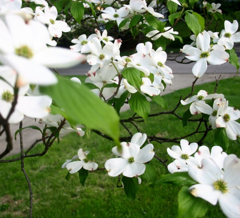 Dogwood in my front yard