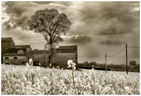 field of yellow flowers (HDR bw)