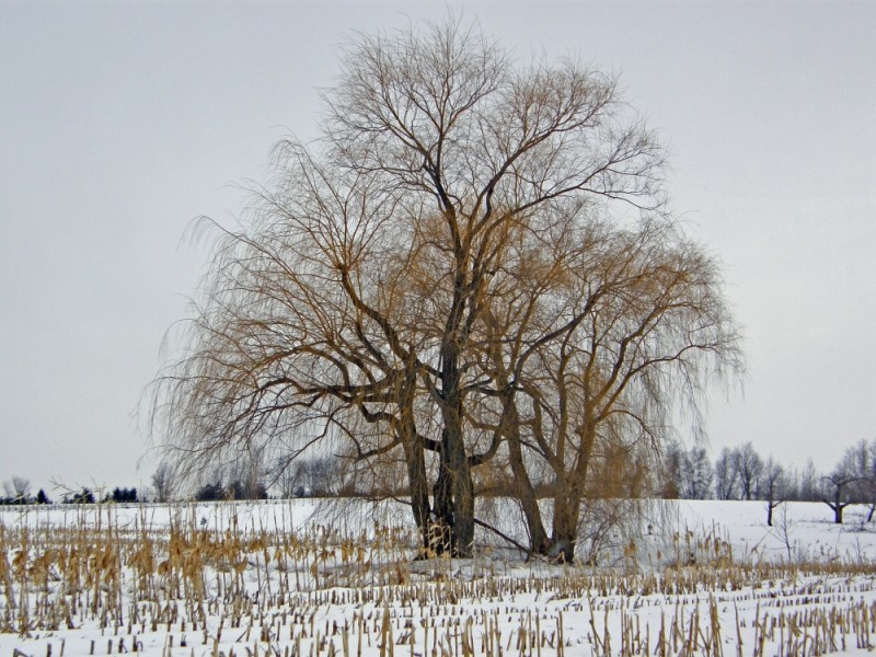 willow tree in the snow
