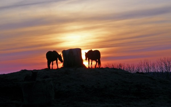 a rare cpture of horses in the sunset