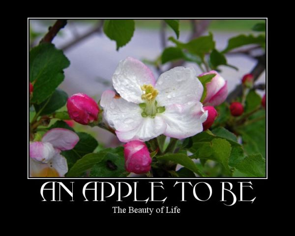 a apple blossom capture