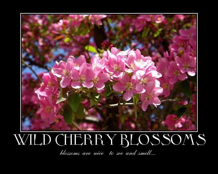 a cherry blossoms capture
