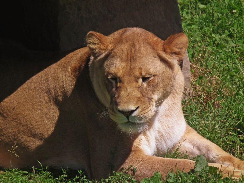a female lion