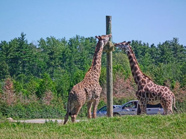 a giraffe capture