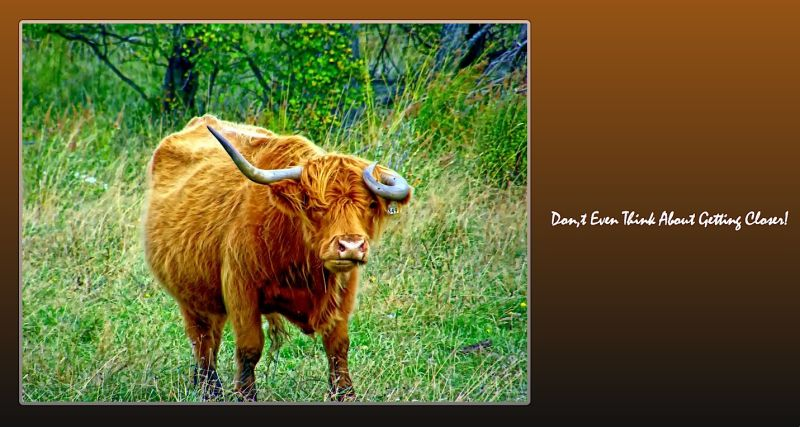 bull capture
