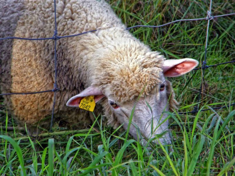 a sheep capture