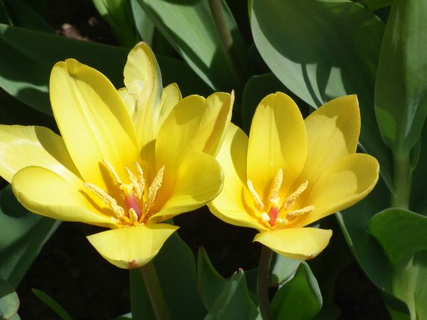 tulips,cature