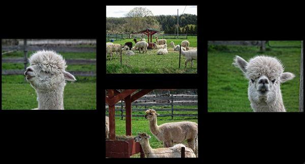 a lamas capture