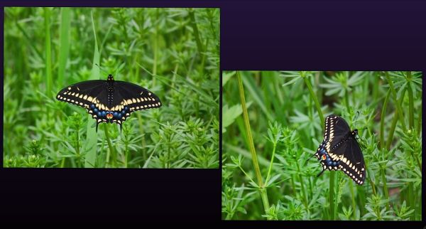 butterfly capture