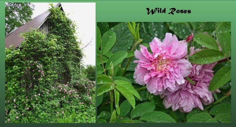 wild roses capture