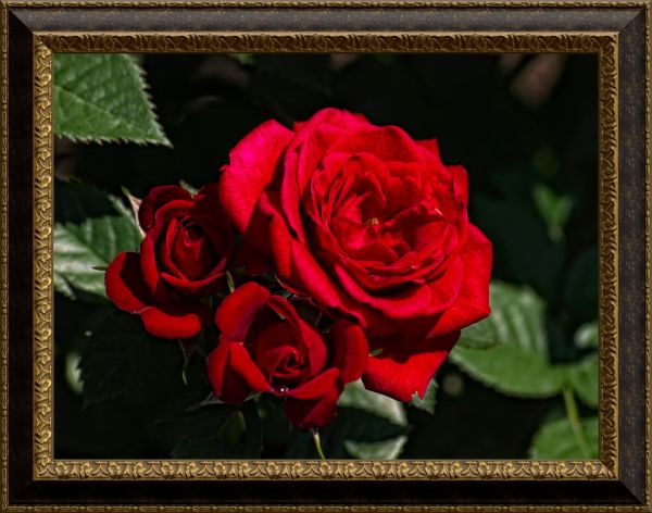 a roses captures