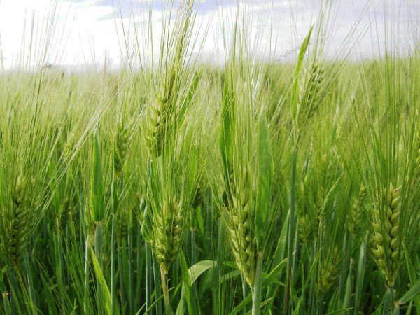 A wheat capture