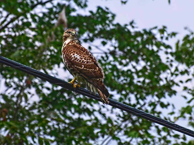 a falcon capture