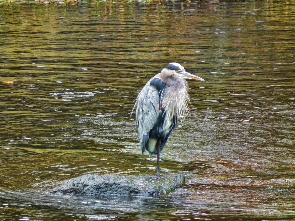 a heron capture