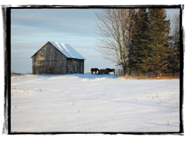 barn and horses in winter