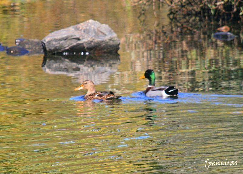 Douro-Patos no rio Douro
