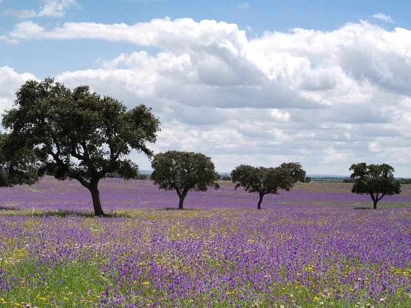 Purple field at Alentejo