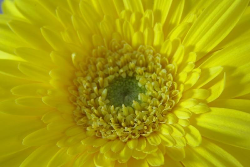 Yellow germini