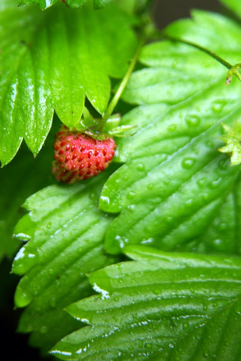 Strawberry under leaves